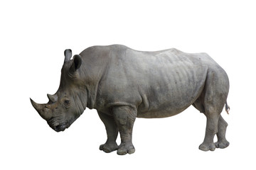 Poster de jardin Rhino Closed up of rhino animal isolated on white background.