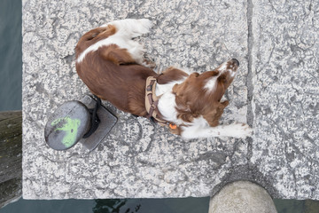 Nice young Welsh Springer Spaniel being tied to a stone pier on a sunny day as seen from above