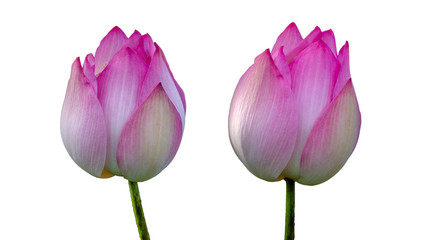 Wall Mural - lotus royal Pink Isolate White background