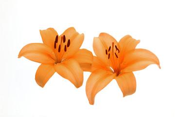 Beautiful Orange lilies isolated on white background