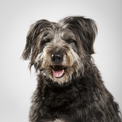 Studio portrait of an expressive catalan shepherd dog called Gos d'Atura against white background