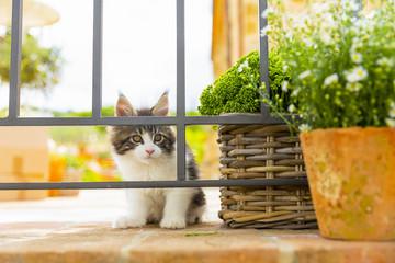 ritratto di un gattino maine coon