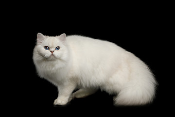 Furry British breed Cat, White color with Blue eyes, Standing with tail up on Isolated Black Background, side view