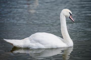 Swan profile