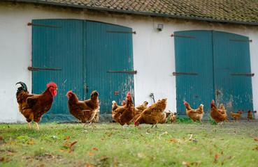 Bauernhof - Hühner und Hahn laufen vor eioner alten Scheune