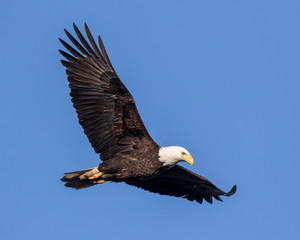 Poster Eagle Bald Eagle Flying