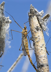 Mayflies, shadflies, fishflies (Ephemeroptera).