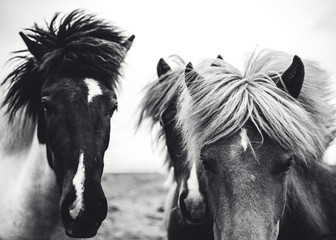 3 Horses, Black and White
