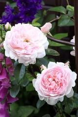 englische Rose Wildeve in Zartrosa
