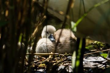 Schwan Küken liegt auf dem Nest