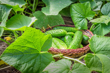 Fresh cucumbers in a basket in the garden in the garden among the sprouts of cucumber and ovary flowers
