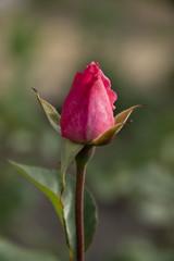 Not dismissed red rose