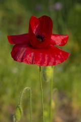 Red poppy against dark background