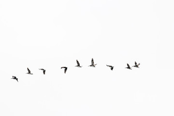 A flock of Pelicans flying with white sky background