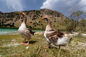Gänse am Kournas See auf Kreta
