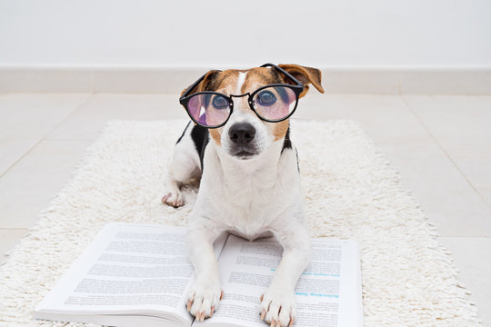 Smart cute jack russell terrier dog lying with open book in eyeglasses and looking at camera. Back to school concept