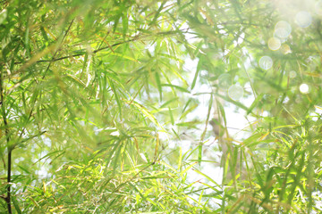 Soft focus back beautiful bamboo leaves.