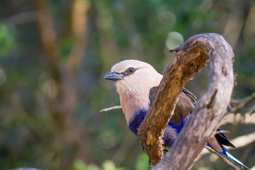 Blue Bellied Roller, African Bird