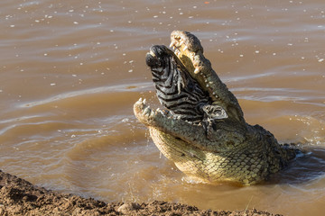Zebra head in a crocodile mouth