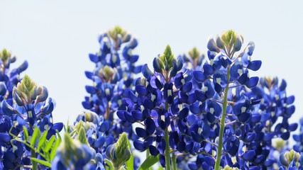 Closeup of Texas Bluebonnets in the spring
