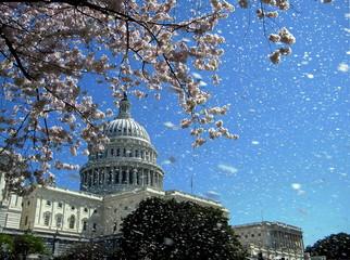 Washington Capitol the rain of cherry blossoms April 2010