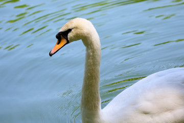 floating in the pond white Swan