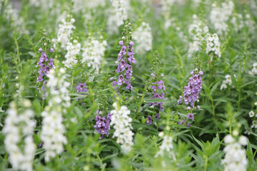 Salvia white and purple flowers freshness in the field landscape background
