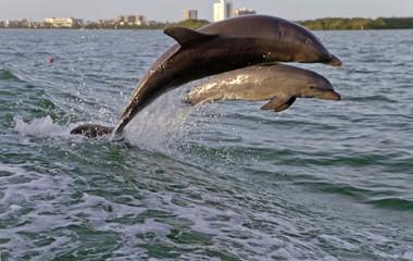 Bottlenose Dolphins Playfully Leap Tugboat Waves Together