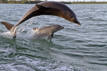 Mother and Baby Bottlenose Dolphins Leap Waves Together