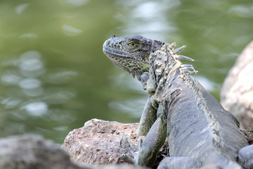 iguana sitting on ground with river background