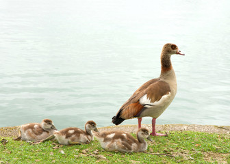 One adult Egyptian Goose with baby geese resting on green grass next to a calm lake. Egyptian geese were considered sacred by the Ancient Egyptians, and appeared in much of their artwork.