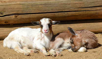 Young goats on the farm.