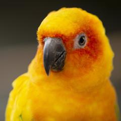 Close up of a Sun Conure parrot.