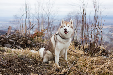Portrait of gorgeous dog breed Siberian Husky sitting in the forest in the withered grass on the mountains background