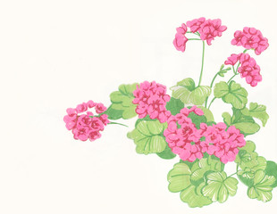 Герань (пеларгония) цветок. Floral botanical flower Pelargonium. Drawing with felt-tip pens isolated on white background.
