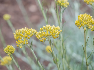 Currykraut ,Helichrysum italicum