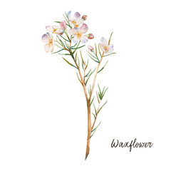 Watercolor waxflower. Hand painted botanical element: plant with white flowers. Natural object isolated on white background