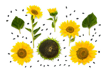 Flowers of sunflower, mature sunflower, leaves and seed on white background. Top view, flat lay