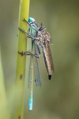 Assasin fly with damselfly prey