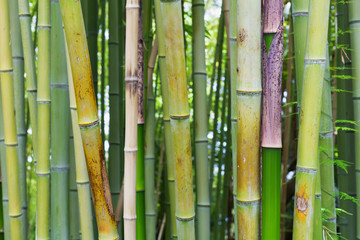 Bamboo green jungle or forest background.