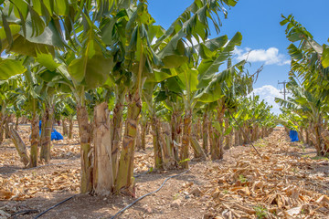 Banana trees on a plantation on Cyprus island
