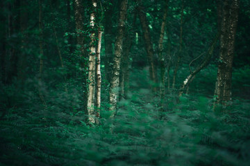 White trunk of birch tree in dense spring forest.