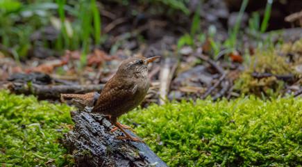 Wren bird in forest