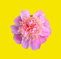 blooming flower pink peony closeup, top view isolated on yellow background