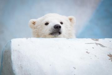 Funny polar bear cub