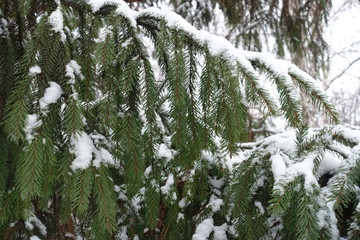 Pendulous branches of spruce covered with snow in winter