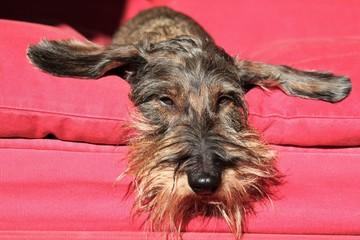 Cane bassotto a pelo ruvido sul divano.