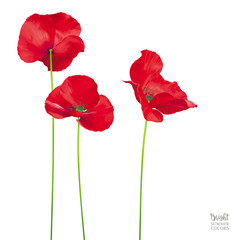 Luxurious bright red vector Poppy flowers isolated on white background