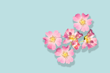 Pink flowers of wild rose isolated on turquoise background