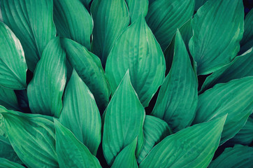 Many large green leaves. Background